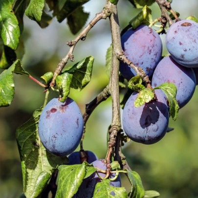 What Makes Plums So Sweet? — Chromatography Explores