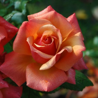 What Do Roses Smell Of? — Chromatography Investigates