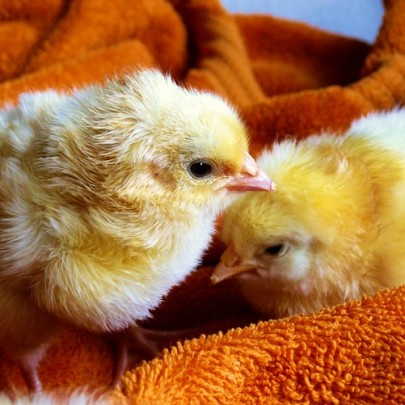 Keeping Your Chicken Safe from Pesticides — Chromatography Investigates