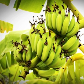 Is Banana Peel Suitable for Biofuel? - Chromatography Investigates