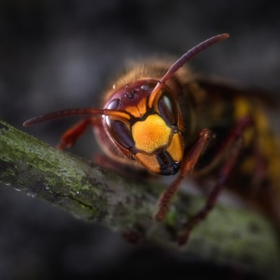 Can We Use Wasp Venom as an Antibiotic Treatment?