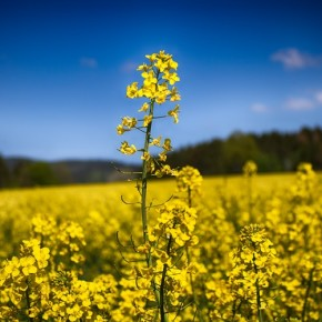Is Canola Oil Healthier Than Soybean Oil? - Chromatography Investigates